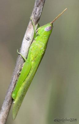 Glassy-winged Toothpick Grasshopper Stenacris vitreipennis
