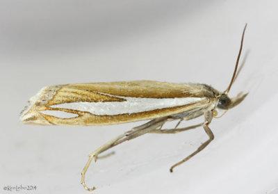 Crambus satrapellus #5372
