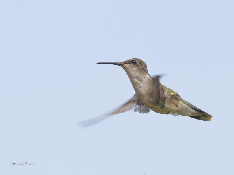 colibri à gorge rubis juv. - juv ruby throated hummingbird
