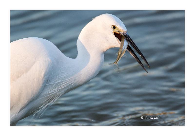 Pêche de laigrette - Camargue - 4805