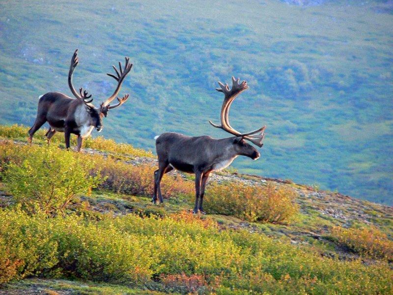 Male Caribou - Alaska