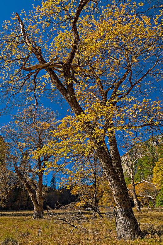 Autumn Leaves of Valley Oak.jpg