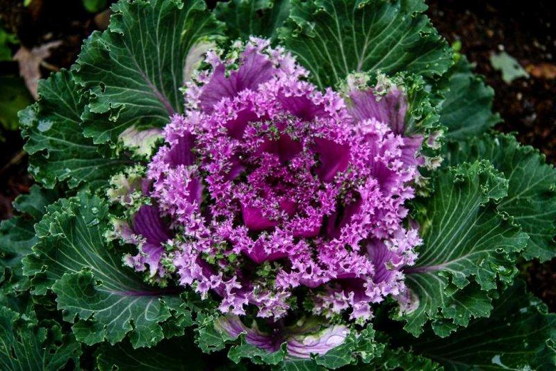 Purple Flowering Cabbage