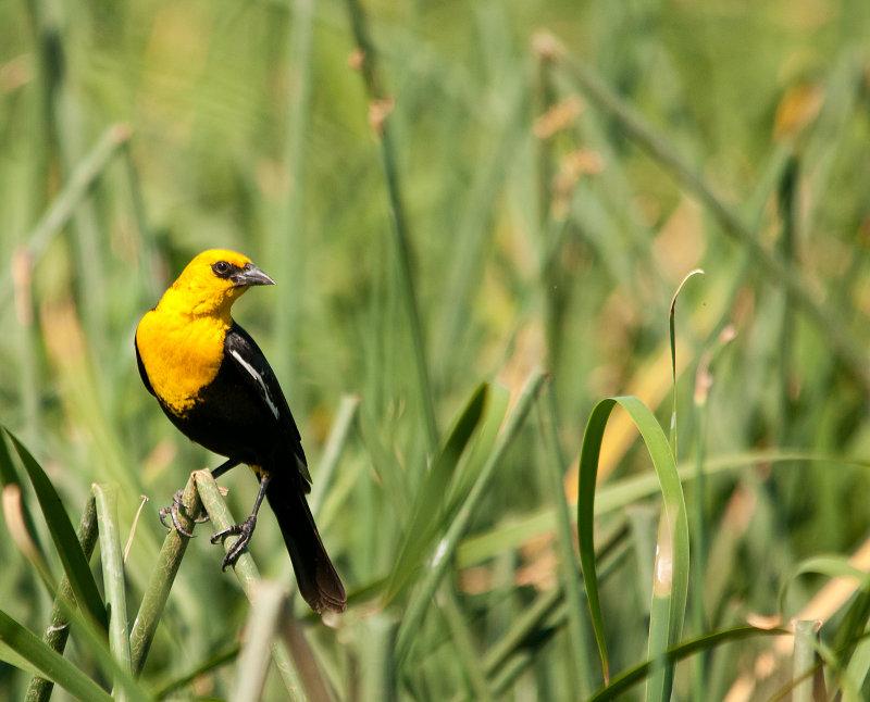 yellow head blackbird.jpg
