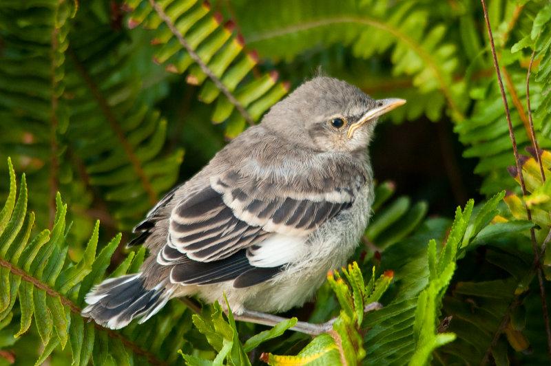 baby mockingbird.jpg