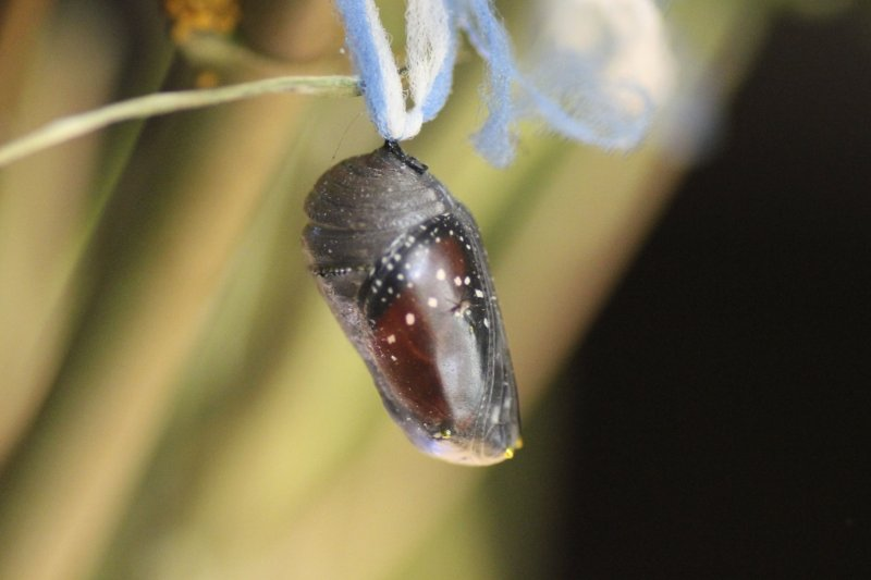 Queen Chrysalis showing butterfly inside