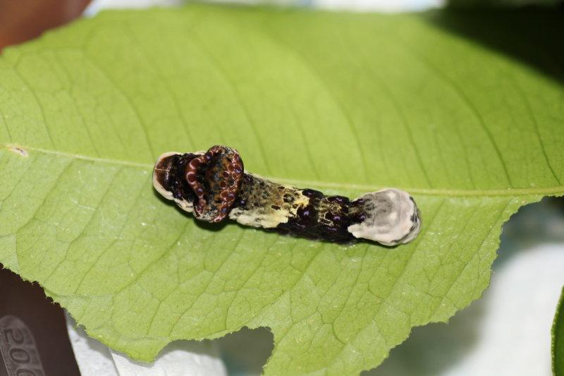 Giant Swallowtail Caterpillar