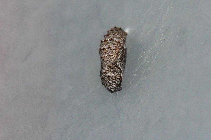 Gorgone Checkerspot Chrysalis