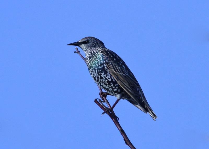 Starling (Sturnus vulgaris) -stare