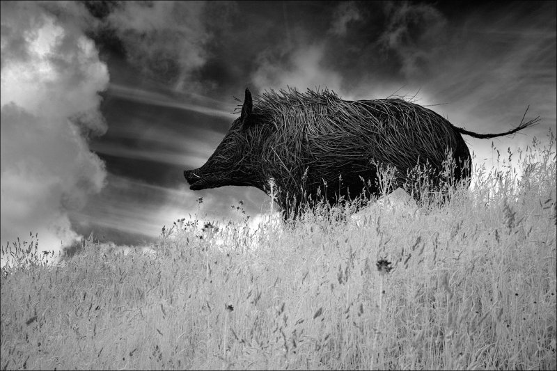 Boar on the hill