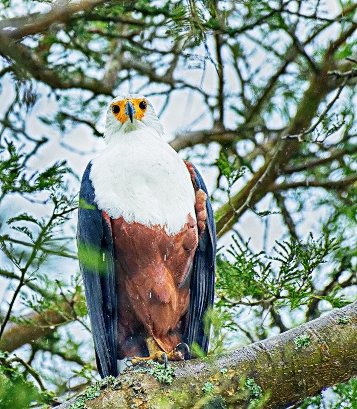 Fish Eagle - Juvenile
