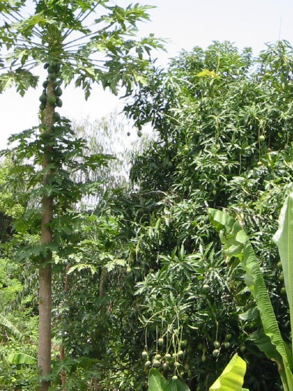 The road to Arba Minch is lined with papaya and mango trees
