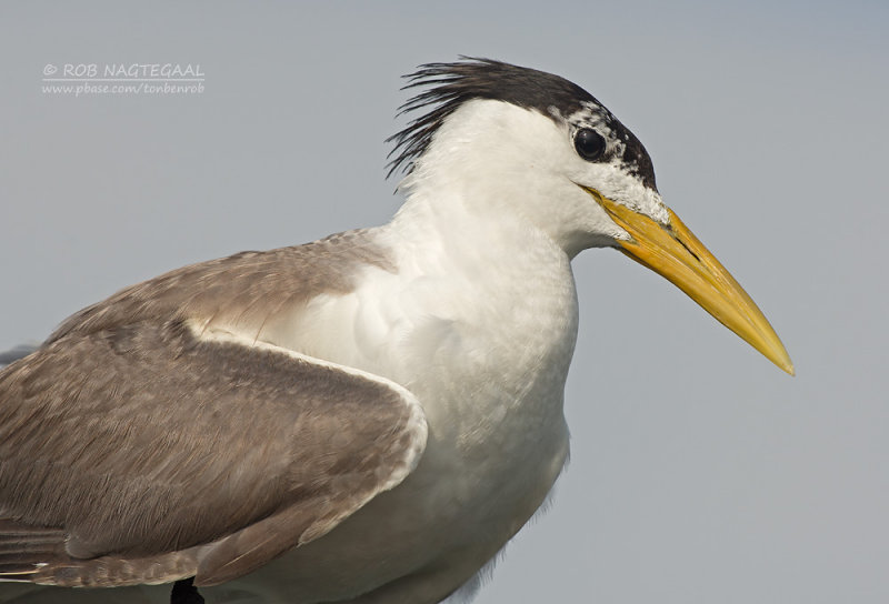 Grote Kuifstern - Great Crested Tern - Thalasseus bergii