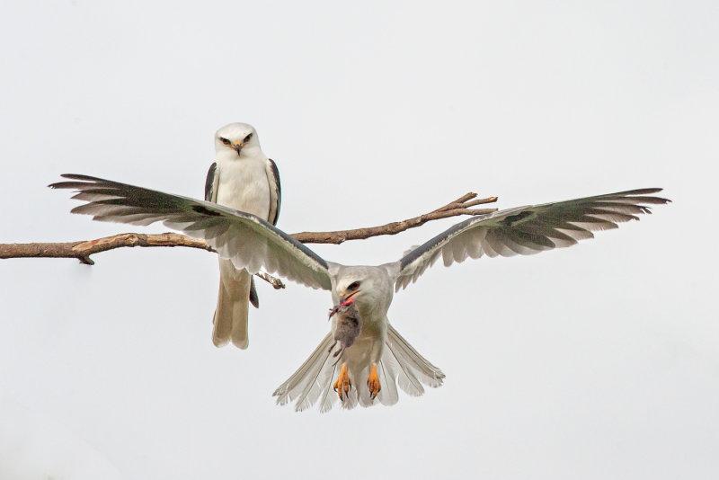 kites - mating pair