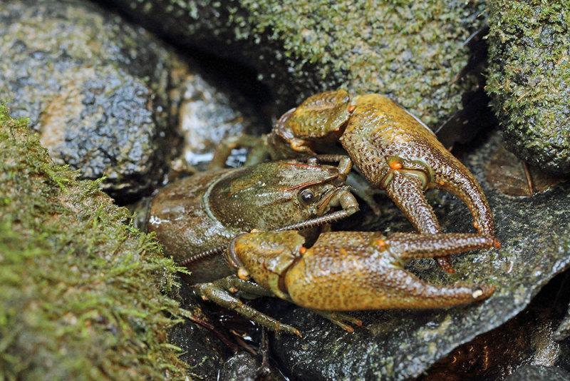 Stone crayfish Austropotamobius torrentium koščak_MG_01141-111.jpg