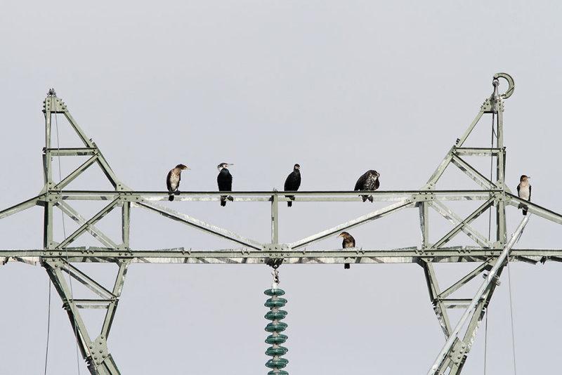 Great cormorants Phalacrocorax carbo veliki kormoran_MG_2557-111.jpg