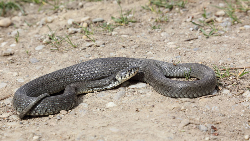 Grass snake Natrix natrix belou¹ka_MG_27001-111.jpg