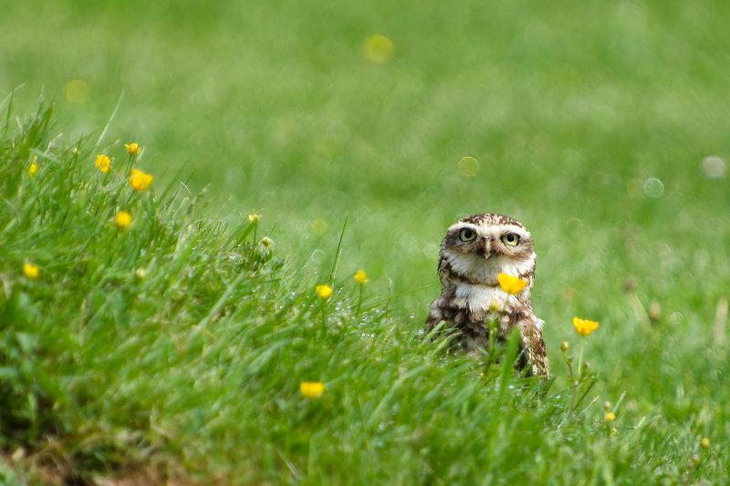 Burrowing owl behind a bump