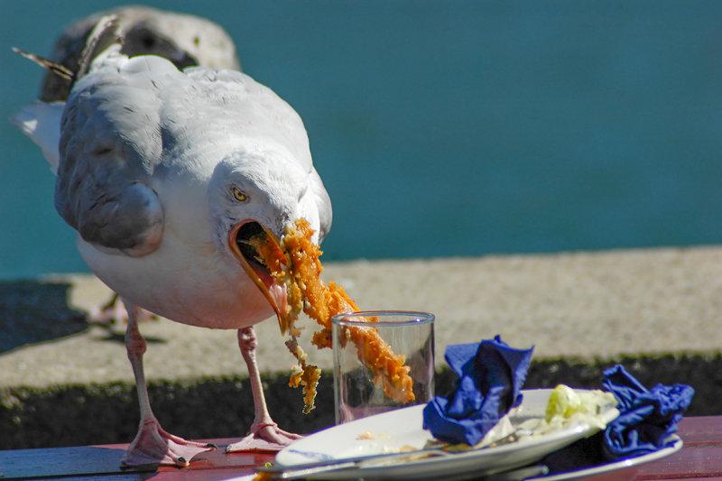 Seagull scavenging, Salcombe (3021)