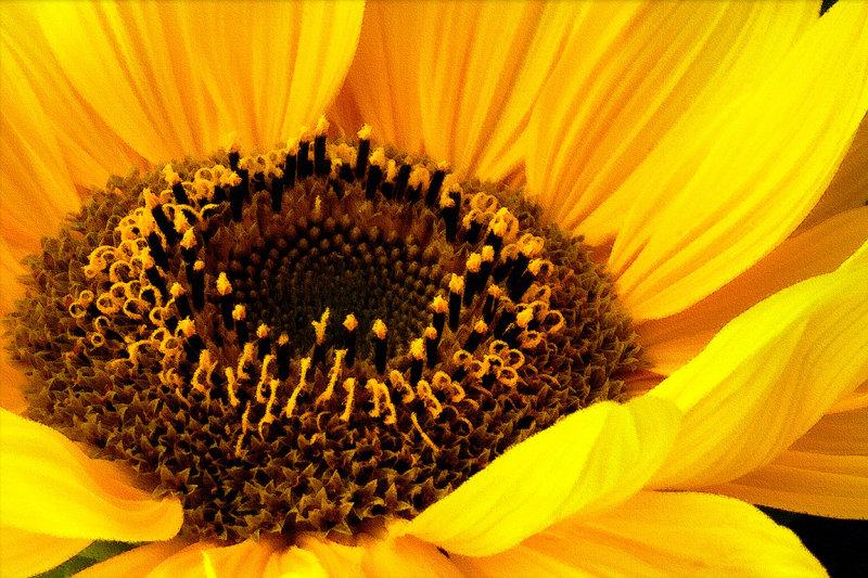 Blazing sunflower (2113)