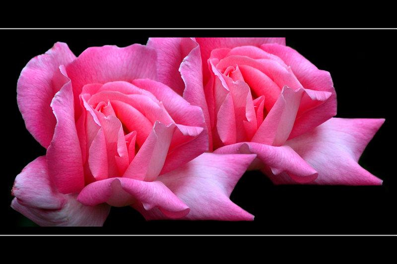 Double pink, Barrington Court (2970)