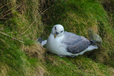 At home with the Fulmars...