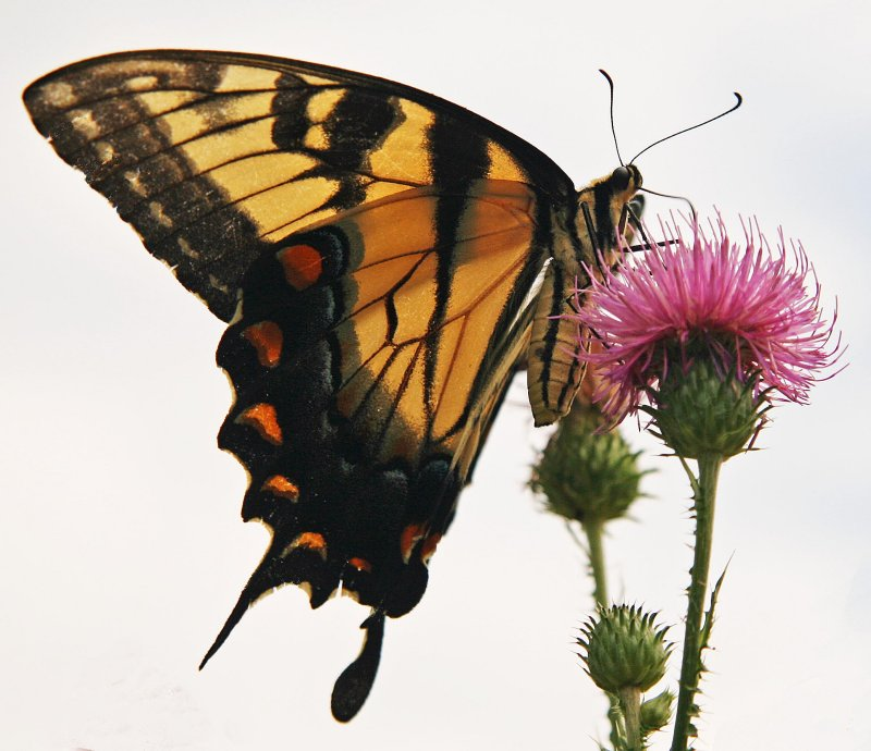 Swallowtail on a Thistle