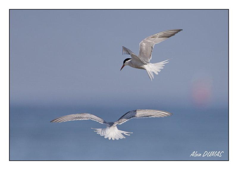 Sternes Pierregarin - Commom Terns
