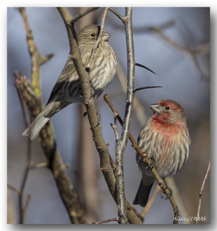 Roselins Familier - House Finches