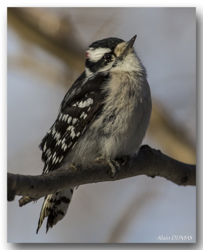 Pic Mineur - Downy Woodpecker