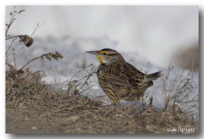 Sturnelle des prés - Eastern Meadowlark