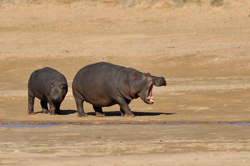 Unhappy hippo