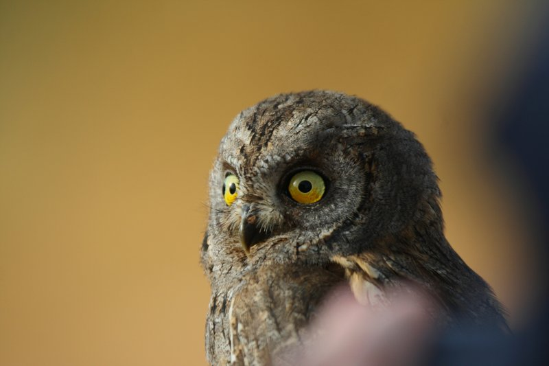 Scops Owl - Otus scops - Autillo (Buho) - Xot o Xut (Mussol)
