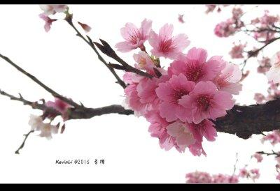2015 春‧櫻