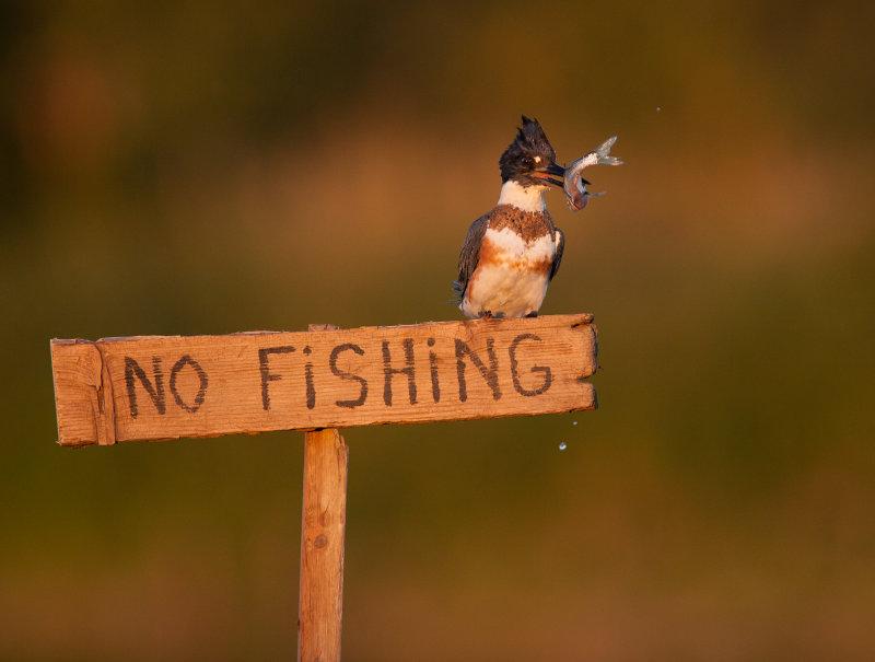 Martin-pêcheur d Amérique ( Belted Kingfischer)
