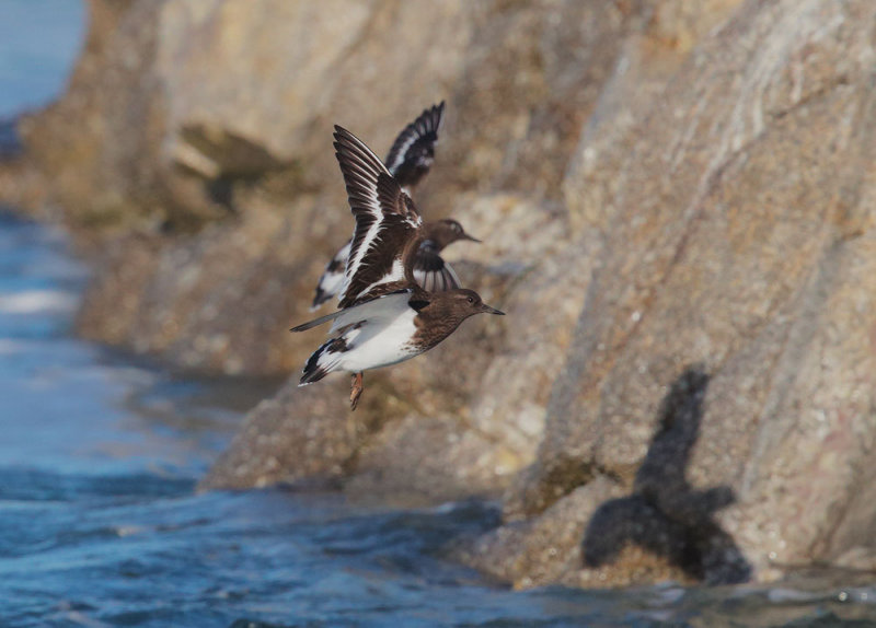 Black Turnstones, flying