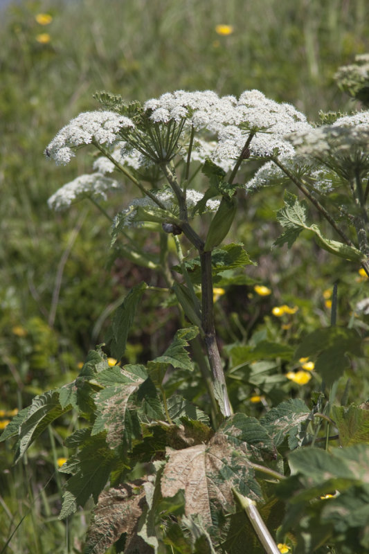 Branc-ursine (La grande berce) - Heracleum sphondylium