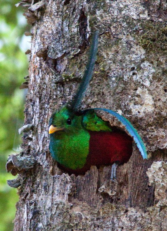 Quetzal resplendissant - Pharomachrus mocinno - Resplendent Quetzal