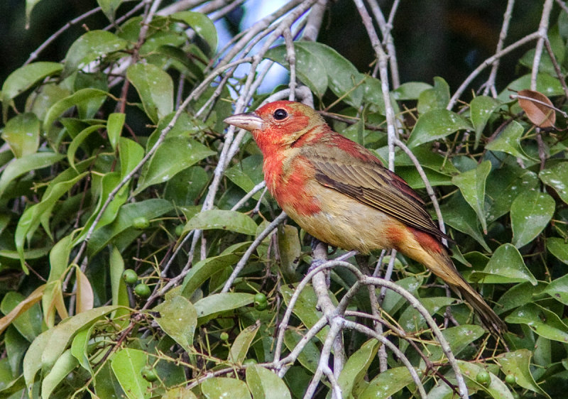 Piranga vermillon - Piranga rubra - Summer Tanager