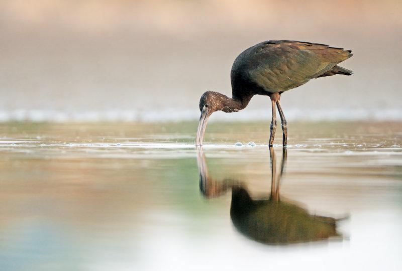 Glossy Ibis   מגלן חום