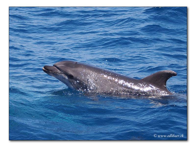 Dolphin - Delphin (4314)