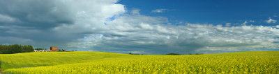 Canola in the Keephills50.jpg