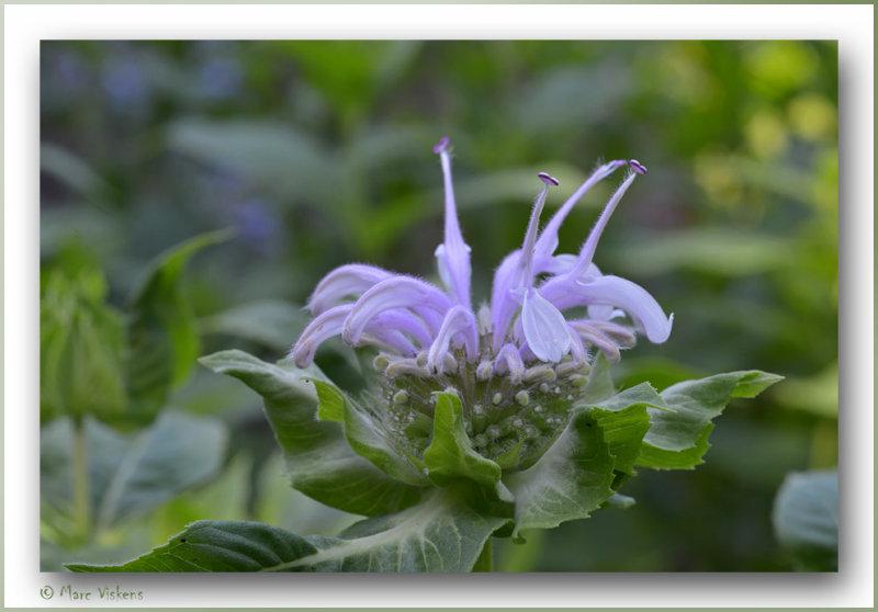 bee balm flower (bergamot)