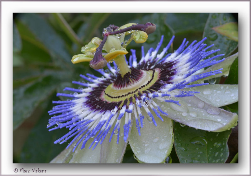 passiflora in the morning