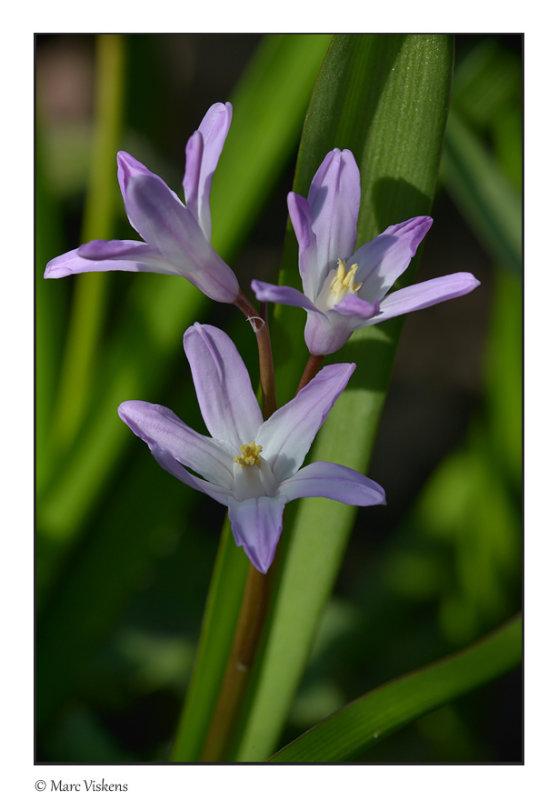 Sterhyacinth (Scilla)