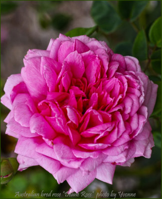 Willunga Jubilee Rose Garden Maze 2014