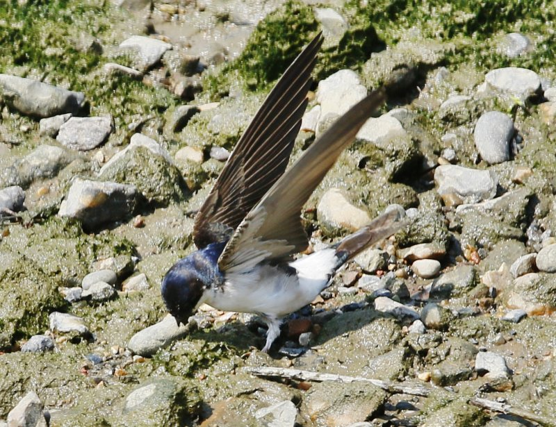 House Martin collecting mud to build a nest.