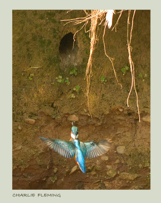 Kingfisher flying to the nest July 9th 2013