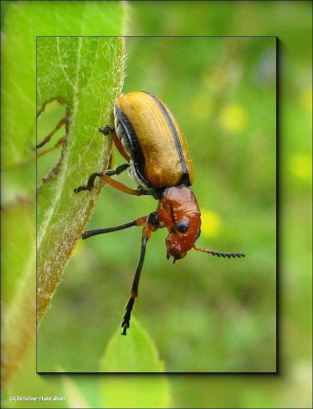 Clay-colored leaf beetle (<em>Anomoea laticlavia</em>)