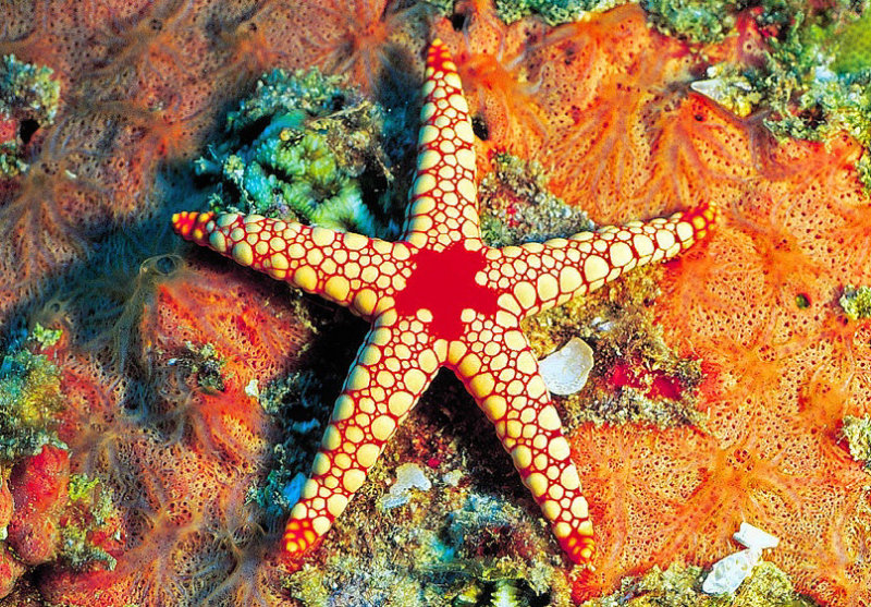 The Fromia Starfish